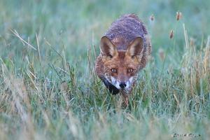 j'avais du bon vent, mon copain le renard était si près de moi que sa tête est sortie du champs de netteté