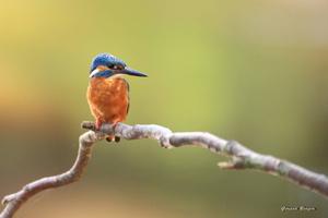 martin pêcheur mâle sur  une branche