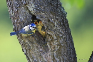 mésange bleue et petits dans le nid