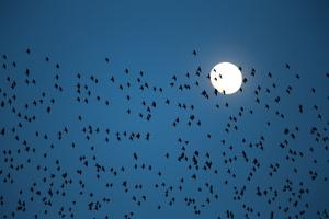 les étourneaux passent devant la lune