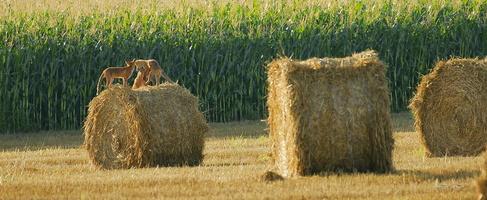 3 renards sur un ballot de paille