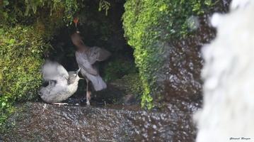 petit  au nid et adulte