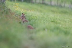 renardeaux qui jouent