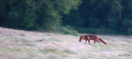 renarde entre chien et loup