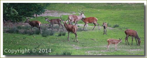 deux cerfs et biches 2013