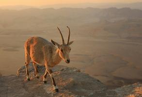 bouquetin de Nubie au lever du soleil