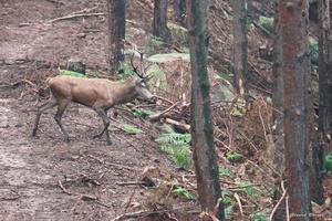 cerf dans la forêt 2