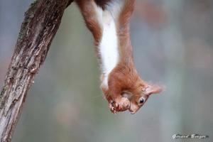 écureuil et noix 2015