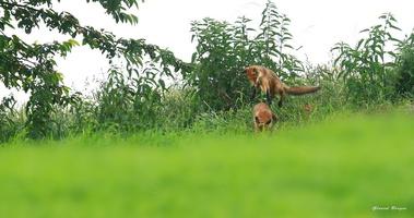 jeu des renards