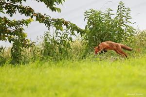 le saut du renard 2016
