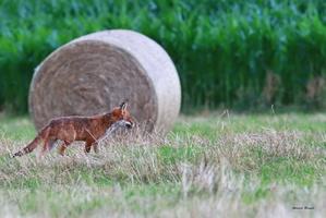 renard avec mulots