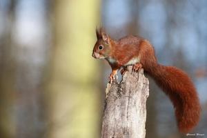 écureuil sur un éclat de bois