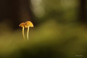 champignon4