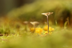 champignon3