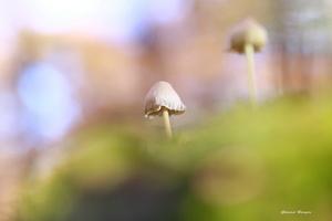 champignon5