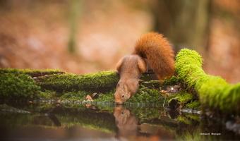 écureuil a soif 2018