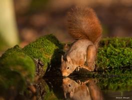 l'écureuil à soif